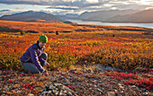 'Woman Picking Berries On Mount Mcintyre With Fish Lake In The Distance; Whitehorse Yukon Canada'