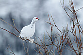 Ptarmigan In The Willows Along The Demspter Highway, Yukon.