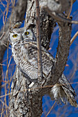 'Great Horned Owl In A Tree; Saskatchewan Canada'