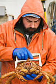A Commercial Fisherman Checks The Size Of A Golden King Crab To Make Sure It Is A Legal Size On The F/V Morgan Anne In Icy Strait Near Juneau, Alaska