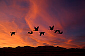 Sandhill Cranes At Bosque Del Apache National Wildlife Refuge. Fall In New Mexico. Composite.