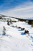 National Park Ranger On Winter Patrol By Dog Team In Denali National Park Wonder Lake Area Alaska
