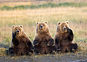 Three Grizzlies Sitting In Meadow Scratching Faces Katmai National Park Alaska Composite