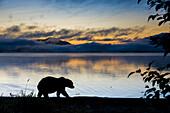 Brown Bear Walks Along The Shores Of Naknek Lake At Dawn With The Kejulik Mountains In The Distance, Katmai National Park, Alaska.