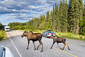 Tourists Watch Cow And Calf Moose Cross The Chena Hot Springs Road In Interior, Alaska During Summer.