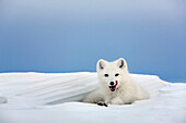 Arctic Fox In White Winter Coat Rests In A Snowdrift Along A Lake In Alaska's Arctic North Slope