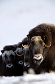 Musk-Ox Cows & Calves In A Defensive Lineup During Winter On The Seward Peninsula Near Nome, Arctic Alaska
