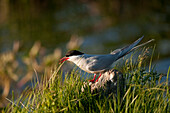 An Arctic Tern Stands On A Rock At Potter Marsh In The Anchorage Coastal Wildlife Refuge, Near Anchorage, Southcentral Alaska, Summer/N