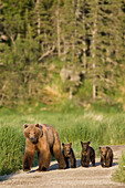 Sow And Triplet Cubs Walking Near Naknek Lake In Katmai National Park, Alaska.