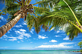 'Palm trees and the pacific ocean on the coast of an hawaiian island; Hawaii, United States of America'