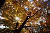 'Sunlight Through Golden Autumn Leaves On Tree In Gatineau Hills; Quebec, Canada'