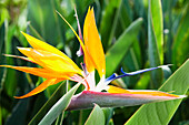 Tropical Bird of Paradise flower in full bloom Oahu, Hawaii, United States of America