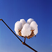 Agriculture - Closeup of an open mature 5-lock cotton boll, ready to pick / Mississippi, USA.
