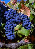 Agriculture - Mature Zinfandel wine grape cluster on the vine / California, USA.