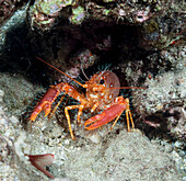 'Underwater view of a Hawaiian lobster (Enoplometopus occidentalis); Maui, Hawaii, United States of America'