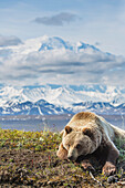 Young Grizzly Bear Rests Along The Spring Tundra In Front Of Mt Mckinley, Denali National Park, Alaska.