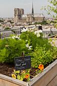 Rooftop vegetable garden of the restaurant le terroir parisien, yannick alleno on the 9th floor of the maison de la mutualite, 5th arrondissement, paris (75), france