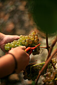 Hand-harvesting marsanne grapes in the vineyards of chateaubourg, (07) ardeche, rhone-alpes, france