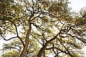 Large Tree Branches Against Blue Sky, Low Angle View, Texas, USA