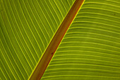 Close-up of plantain leaf