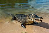 Alligator (Yacare caiman), Pantanal, UNESCO World Heritage Site, Brazil, South America