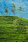 Tea pluckers working at a tea plantation in the the Central Highlands, Nuwara Eliya District, Sri Lanka, Asia