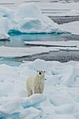 Young adult polar bear (Ursus maritimus) on ice in Hinlopen Strait, Svalbard, Norway, Scandinavia, Europe