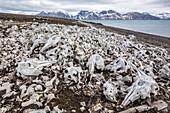 Littered beluga bones left by whalers (Delphinapterus leucas) at Ahlstrandhalvoya, Bellsund, Svalbard, Norway, Scandinavia, Europe
