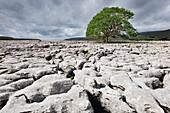 Single tree on limestone pavement, Ingleborough National Nature Reserve, Yorkshire Dales, North Yorkshire, England, United Kingdom, Europe