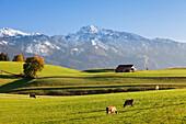 Prealps landscape with a cottage and cows, Fussen, Ostallgau, Allgau, Allgau Alps, Bavaria, Germany, Europe