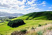 Lush green fields with sheep grazing, Otago Peninsula, Otago, South Island, New Zealand, Pacific