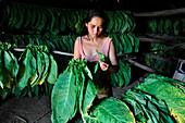 Woman working in a tobacco dryer, tobacco growing, Vinales, Pinar del Rio province, Cuba, Caribbean