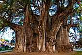 'Central America, Mexico, Oaxaca State, Tlacolula valley, El Tule, Tule tree (''Taxodium Mucronatum'') considered the bigest tree of 58 meters large, 42 meters high and aged more 2000 years'