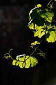 France, Collonges la Rouge, Correze. Leaf vines on black background. vertical image