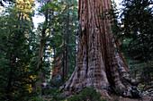 TRUNK OF GIANT SEQUOIA TREE (SEQUOIADENDRON GIGANTEUM), SEQUOIA NATIONAL PARK, CALIFORNIA, USA