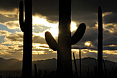 SILHOUETTTE OF SAGUARO CACTI (CARNEGIEA GIGANTEA) AT SUNRISE, SAGUARO NATIONAL PARK, ARIZONA, USA, ARIZONA, USA