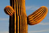 SAGUARO CACTI (CARNEGIEA GIGANTEA) SMALL LIMBS, SAGUARO NATIONAL PARK, ARIZONA, USA, ARIZONA, USA