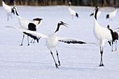 Cranes Dancing In The Snow