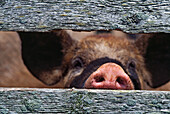 Pig's Snout Through Weathered Fence Boards