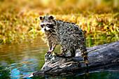 Raccoon After A Swim