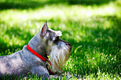 A Schnauzer Laying In The Grass