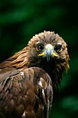 Golden Eagle's Face (Aquila Chrysaetos)