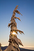 Sunlight Through Snow-Covered Tree, Cascades Mountains, Oregon, United States Of America