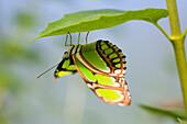 Malachite Butterfly On Leaf