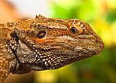 Portrait Of A Bearded Dragon