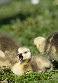 Fuzzy Goslings