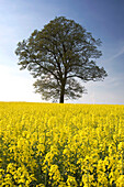 Tree In A Rapeseed Field, Yorkshire, England