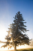 Tree And Sunlight, Willamette Valley, Oregon, United States Of America