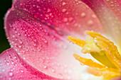 Closeup Of Dew On A Tulip Petal