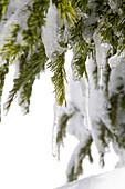Spring Snow, Tree
